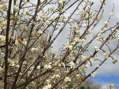 plum_blossom_13sep16_img_4504